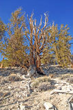 Ancient Bristlecone Pine Tree Royalty Free Stock Photo
