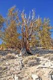 Ancient Bristlecone Pine Tree Royalty Free Stock Photo