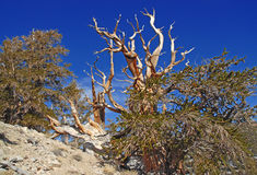 Ancient Bristlecone Pine Stock Photos