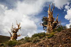 Ancient Bristlecone Pines Stock Photo