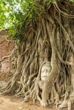 Ancient Buddha head in Bo tree (Ficus religiosa) one of World heritage i Stock Photography