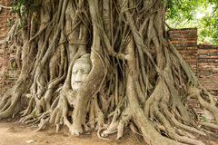 Ancient Buddha head in Bo tree (Ficus religiosa) one of World heritage i Royalty Free Stock Photography