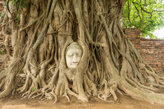 Ancient Buddha head in Bo tree (Ficus religiosa) one of World heritage i Royalty Free Stock Photos