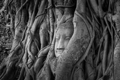 Ancient Buddha head in tree roots,A black and white. Photo at thailand Stock Photography