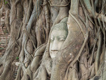 Ancient Buddha Statue in tree roots at Mahatat Temple Royalty Free Stock Image