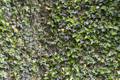 Ancient castle stone wall with ivy Royalty Free Stock Image