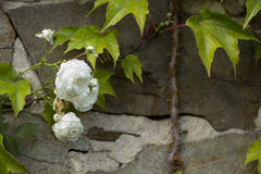 Ancient castle wall with a rose Royalty Free Stock Photos