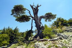 A Cedar of Lebanon tree that has been struck by lightning in the Shouf Biosphere Reserve mountains, Lebanon. An ancient cedar, damaged by lightning, in the huge royalty free stock images