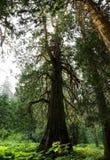 Ancient cedar forest Stock Photos