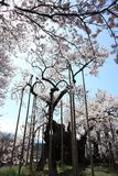 The Ancient Cherry Tree Yamataka Shindai Sakura Royalty Free Stock Images