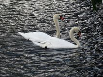 Europe, Belgium, West Flanders, Bruges,a pair of beautiful swans in love floating on the canal stock photos