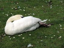 Europe, Belgium, West Flanders, Bruges, white Swan sleeping on the lawn stock photography