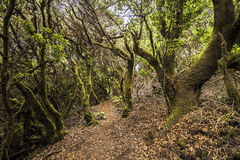 Ancient clouds' laurel forest. (laurisilva) on El Hierro - Canary islands - Spain Royalty Free Stock Photography