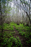 Ancient coppiced woodland. In spring sunshine Royalty Free Stock Photos