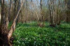Ancient coppiced woodland. In spring sunshine Royalty Free Stock Photo