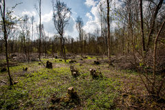 Ancient coppiced woodland. In spring sunshine Stock Photos