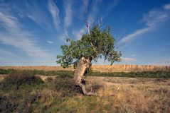 Ancient Cottonwood tree Royalty Free Stock Photography