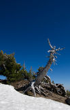 Ancient dead tree rising from snow bank. An ancient dead pine tree rises from a snow bank Royalty Free Stock Photo