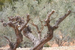 Ancient death olive tree Royalty Free Stock Image