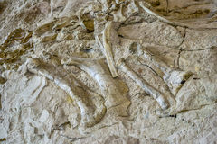 Ancient dinosaur bones embedded in rocky valley wall. Dinosaur bones embedded in valley wall revealed when river cut a broader channel stock images