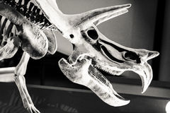 Ancient Dinosaur Skeleton in Black and White Stock Photos