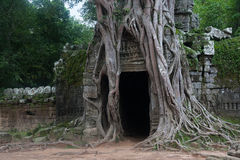 Ancient Door entangled with old trees around in Ankgor wat mossy Royalty Free Stock Photo