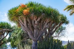Dragon tree with orange fruits royalty free stock image