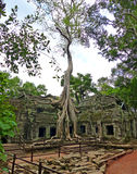 Ancient Elephant Trunk Tree at Preah Ta Phrom Royalty Free Stock Photos