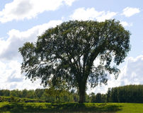 Ancient elm tree. A huge old elm standing alone in a rural setting Royalty Free Stock Photos