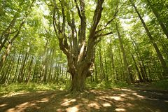 Massive elm deep in the forest. Ancient elm tree deep in the forest royalty free stock photography