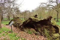 An ancient 19th Century English Oak tree laid hollowed. This ancient English Oak tree called Queen Elizabeth& x27;s Oak laid hollowed in Greenwich park London Royalty Free Stock Photography