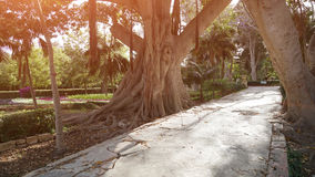 Ancient ficus in a botanical garden of Malta Royalty Free Stock Photography