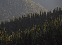 Ancient fir forests of North America Stock Image