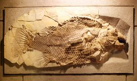 Ancient fish fossil Stock Photo