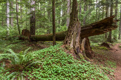 Ancient Forest Habitat. Understory of an Old-growth Douglas Fir (Pseudotsuga menziesii) Western Hemlock (Tsuga heterophylla) forest in the Pacific Northwest Stock Photography