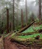 Ancient Forest. Old-growth forest in Pacific Northwest Royalty Free Stock Image