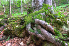 Ancient forest Royalty Free Stock Photography