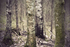 Ancient forest Royalty Free Stock Photos