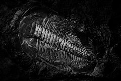 Ancient fossil of prehistoric animal. History of evolution in dark stock photography