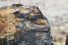 Ancient Fossils at 15,000 Feet Elevation, Cordillera Huayhuash, Peru Stock Images