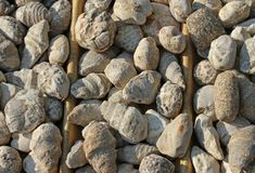 Ancient fossils of shells for sale in a shop for collectors Royalty Free Stock Images