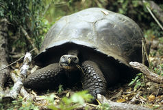Ancient Galapagos Island Tortoise Stock Photo
