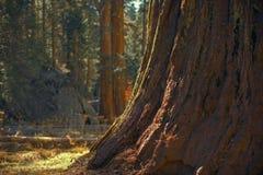 Ancient Giant Sequoia Tree stock photo