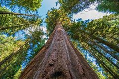 Ancient Giant Sequoias Stock Images