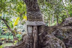 Ancient and giant tree in park Bali, Indonesia Royalty Free Stock Photo