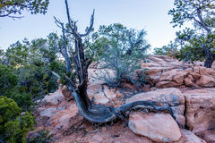 An ancient gnarled juniper near Navajo Monument park  utah. An ancient gnarled juniper tree near Navajo Monument park  utah Stock Photos