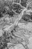 An ancient gnarled juniper tree near Navajo Monument park  utah Stock Photos