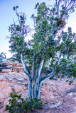 An ancient gnarled tree near Navajo Monument park  utah. An ancient gnarled juniper tree near Navajo Monument park  utah Stock Photos