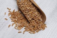 Ancient grain kamut, Khorasan wheat Stock Photo
