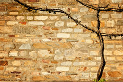 Old withered grapevine on stone wall Stock Images